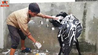 Qurbani wala Bakra | Bakre ki Care | Pakistani Most Expensive Bakra Video Urdu/Hindi