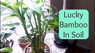 Lucky Bamboo repotting into soil (Care Tips)