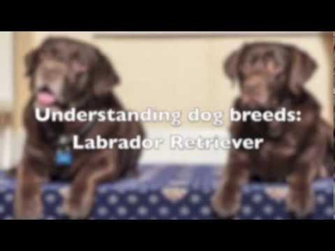 Understanding Dog Breeds - Labrador Retriever