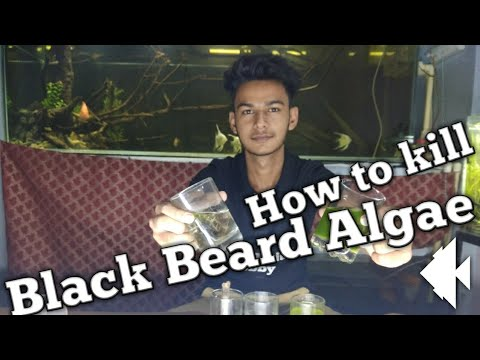 Secret to remove BBA(Black Beard Algae)