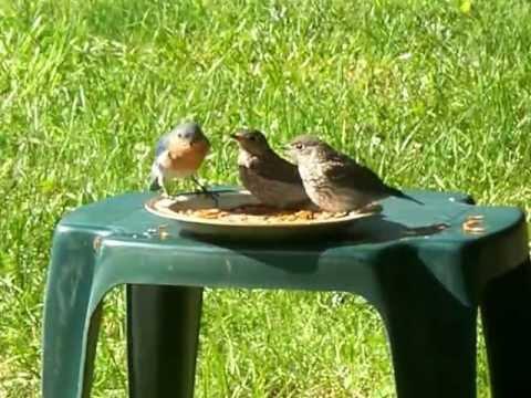 Eastern Bluebird Family Feeding, Mom and 2 Babies