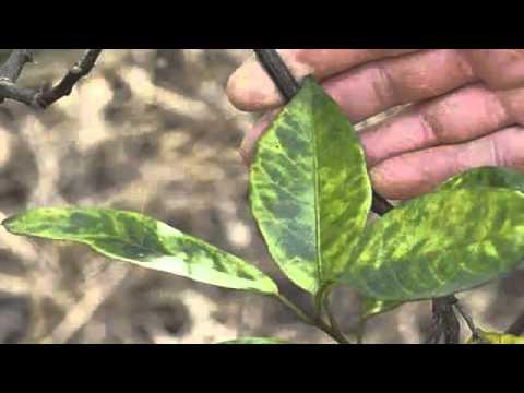 Common Citrus Diseases Warners Tree Surgery (480) 969-8808