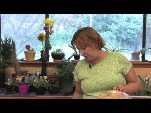 Flower Gardening Tips : How to Grow Morning Glory (Ipomoea)