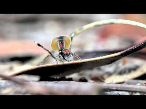Peacock Spider 1 (Maratus volans)