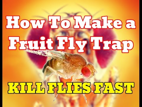 [NEW] How To Make Fruit Fly Trap With Apple Cider Vinegar (PROOF) - Get Rid Of Fruit Flies Fast [HD]