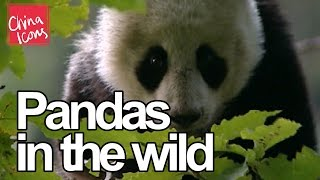 Cute Pandas in the Wild | A China Icons Video