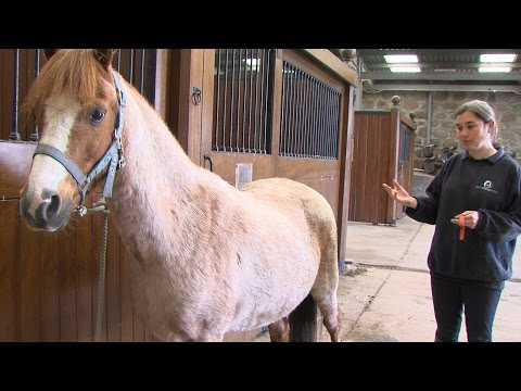 How to check a horse's respiration rate