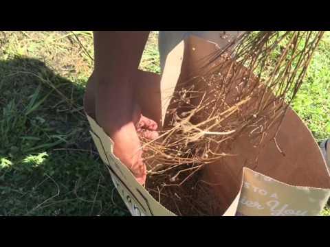How to harvest coriander (cilantro seeds)