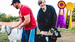 TEACHING my family how to SHOW GOATS! 😂 (we got this! 🥇 )