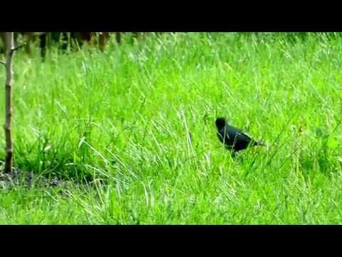 Birds in their natural habitat-starlings hunting worms in the grass
