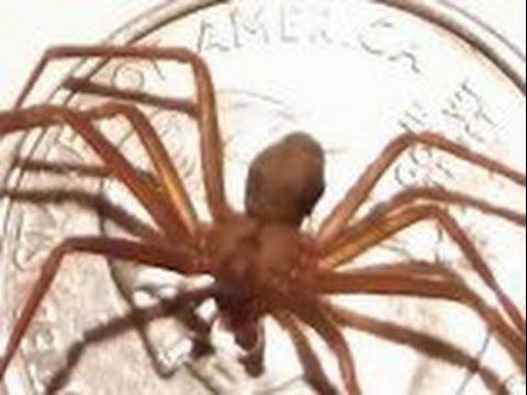Brown recluse spiders PSA: Can you handle the truth?