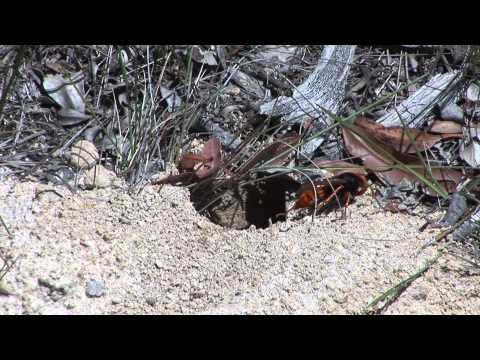 Cicada Killer Wasp (Ground Digger Wasp)