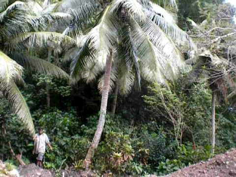 Cutting down a coconut tree(niu) in American Samoa