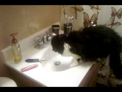 cats obsessed with drinking water in bathroom sink