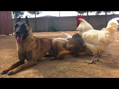 You won't believe this Belgian Malinois after Online Dog Training Course!