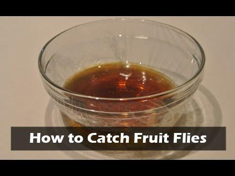 How to Catch Fruit Flies