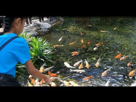 Koi fish (Fish)   Kids feeding Koi fish   Garden Koi fish pond   Koi fish ponds