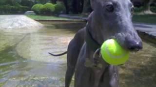 Greyhound Water Play 2