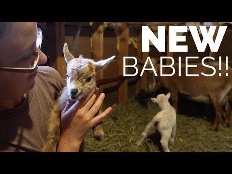 New Goat BABIES + Giveaway WINNER!!!
