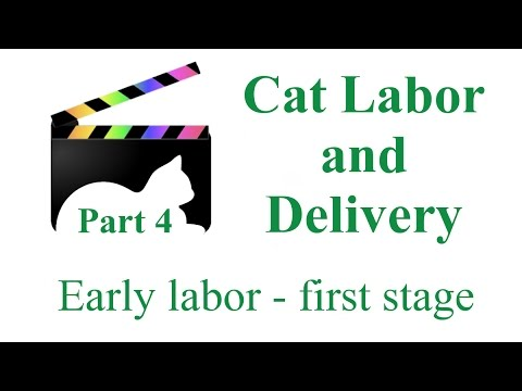 Feline Labor and Delivery - part four - First stage of labor