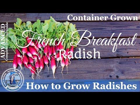 How to Grow French Breakfast Radish