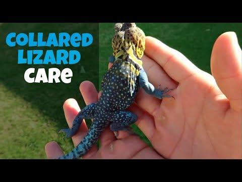 Collared Lizard Care