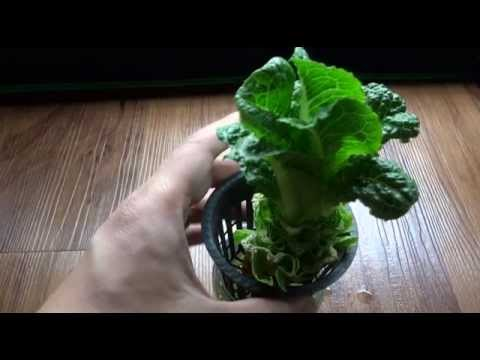 Regrow Lettuce - Store Bought In Hydroponic