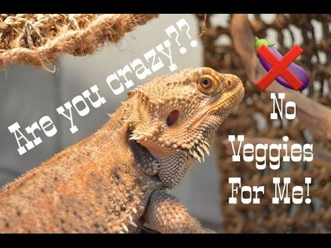 HOW TO  // Get your Beardie To Eat Veggies!!