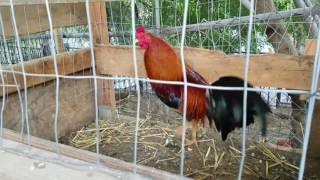 Black McRae Stags Gamefowl Gallos Roosters