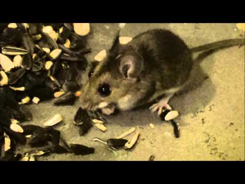 Deer Mouse Visits My Garage