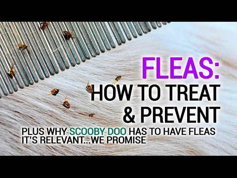 Fleas in House! - How to Prevent and Treat... plus I'm Convinced Scooby Doo has fleas