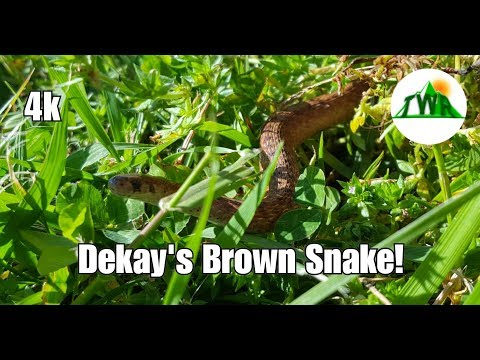The Dekay's Brown Snake...NOT A Baby Copperhead!