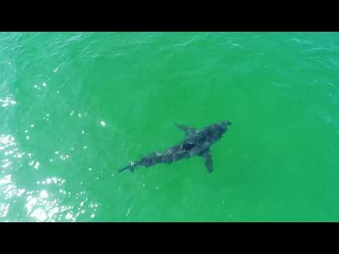 Great White Sharks Close to Beach // Cape Cod, MA // 4K Drone Footage