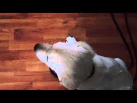 Adult dog correcting rude over excited puppy