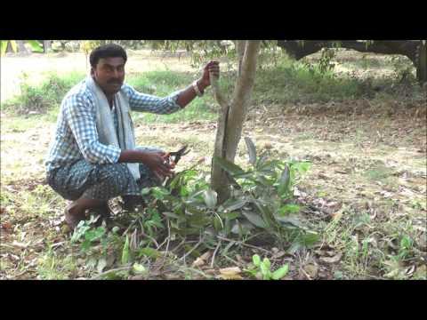 A Success Story in Cultivating Mango in Natural Farming Method_Kadapa_DoAg&DigitalGreen