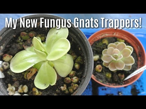 My New Fungus Gnats Trappers!