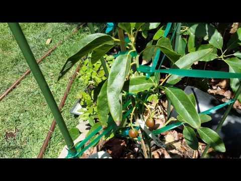 Gem Avocado Tree