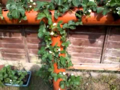 How to grow strawberry plants in a small space