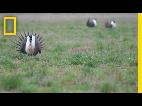 Odd Birds Take a Road Trip to Survive | National Geographic