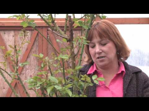Gardening: Caring for Plants : How to Grow a Black Rose Plant