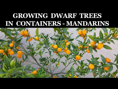 Growing Dwarf Citrus Trees In Containers - Kishu Mandarin