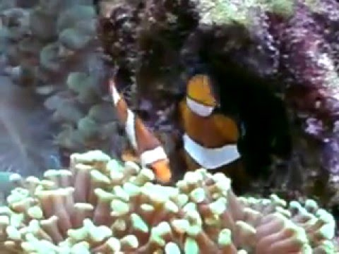 400L Reef aquarium clown fish laying eggs.