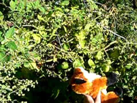 Webkinz Pick Tomatoes!