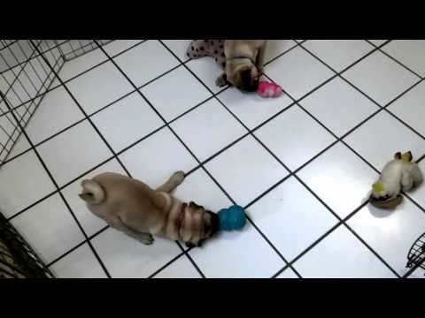 Stuffed Kong Toys keep puppies busy