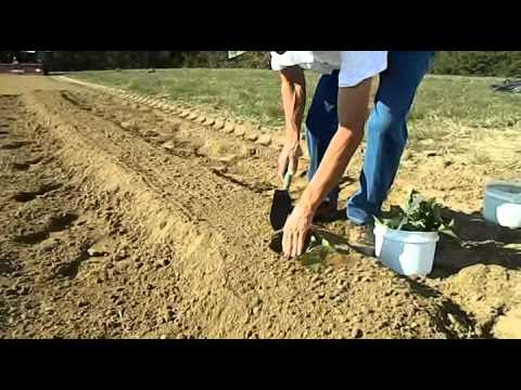 How to plant sweet potatoes in warmer climates - The Tatorman