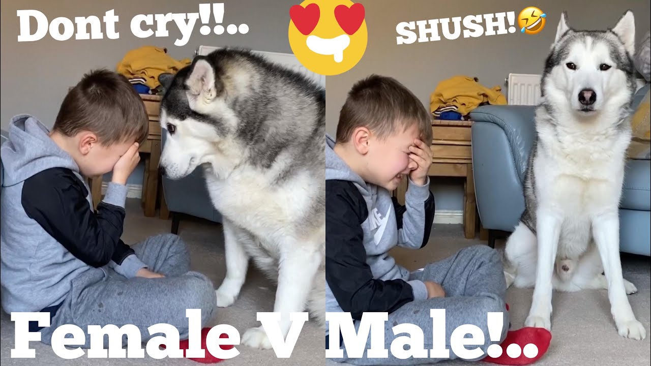 Funny Huskies Reaction To My Kids Crying Prank! [WITH CAPTIONS] [MALE V FEMALE V PUPPY]