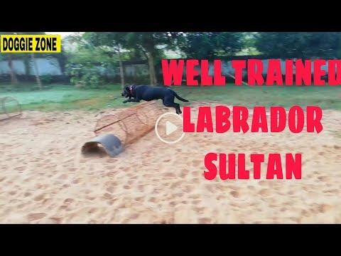 Labrador dog training by doggie zone