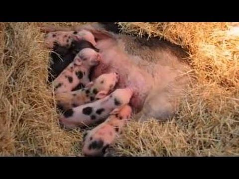 Precious newborn spotted pot belly micro, mini, teacup piglets.