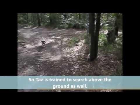 Koala detection with Taz the Springer Spaniel, trained by Steve Austin