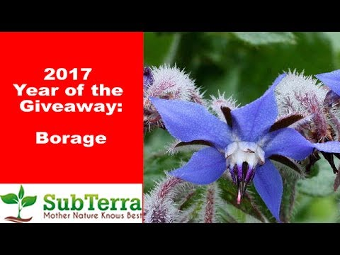 Borage - Edible, Medicinal and Beneficial Attractor! ** Giveaway video **